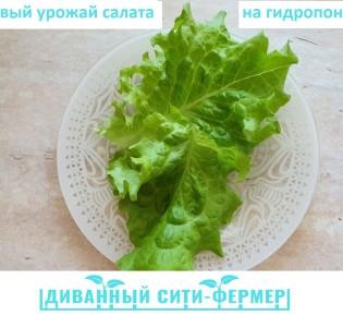 Реалити-шоу part 3 — Первый урожай салата на гидропонике