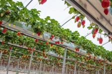 Как вырастить клубнику на гидропонике?