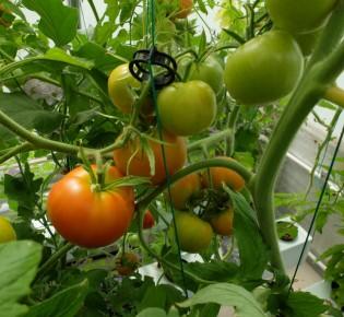 Способы вертикального выращивания помидоров