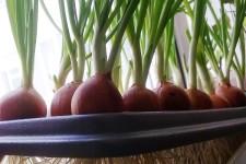 Как выращивают лук на гидропонике?