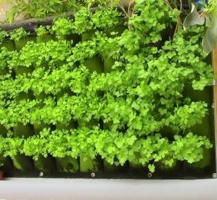 Как выращивают петрушку на гидропонике?