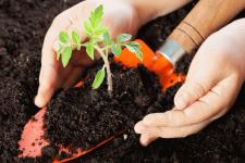 Как применять вермикулит для рассады томатов?