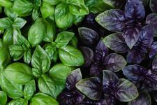 Как растёт базилик на гидропонике?