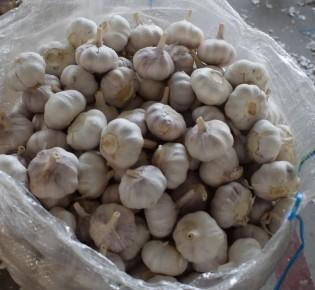 Как выращивают чеснок на гидропонике?