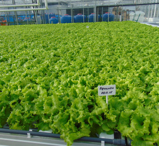 Особенности выращивания салата на гидропонике