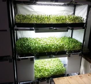 Как выращивают микрозелень на гидропонике?