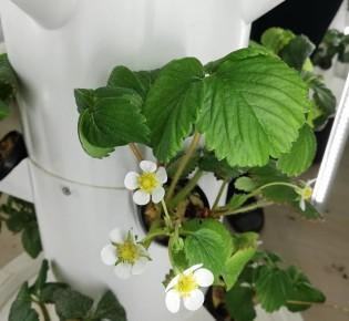Как выращивают землянику на вертикальной гидропонике?