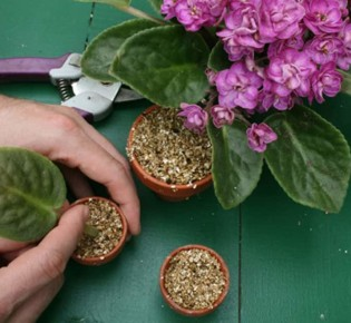 Как применять вермикулит для фиалок?