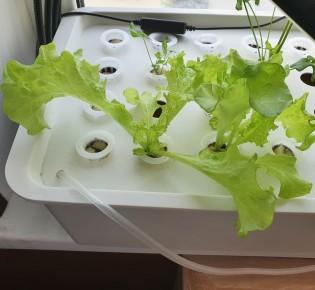 Реалити-шоу part 4 — Очередной урожай салата на гидропонике