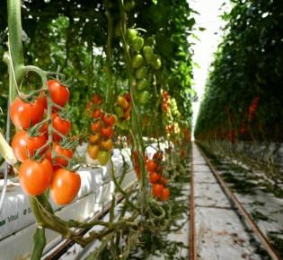 Как выращивают помидоры на гидропонике?
