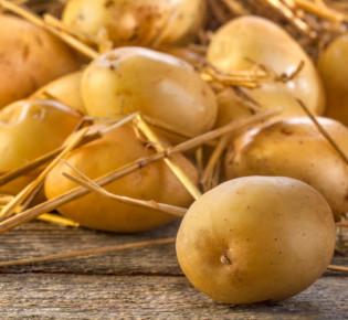 Как выращивают картофель на гидропонике?