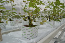 Как выращивают розы на гидропонике?