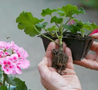 Как происходит черенкование герани в вермикулите?