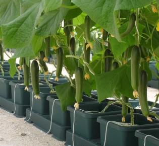 Как выращивают огурцы на гидропонике?
