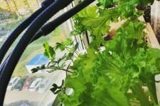 Реалити-шоу part 6 — Первый урожай петрушки на гидропонике