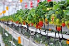 Как выращивать землянику на гидропонике?