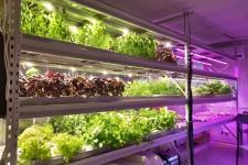 Как выращивают зелень на аэропонике?