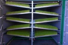 Как выращивают гидропонный зелёный корм?