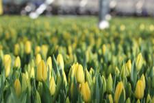 Как выращивают тюльпаны на гидропонике?