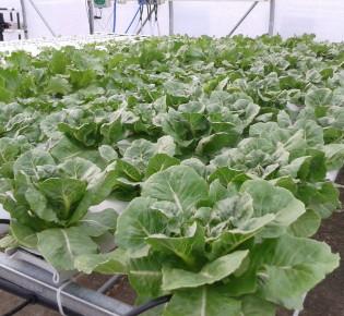 Как выращивают капусту на гидропонике?