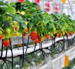Особенности вертикального выращивания клубники