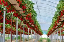 Как выращивают клубнику в гроубоксе?