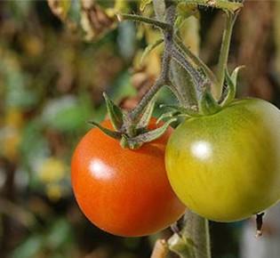 Правила выращивания помидоров на аэропонике