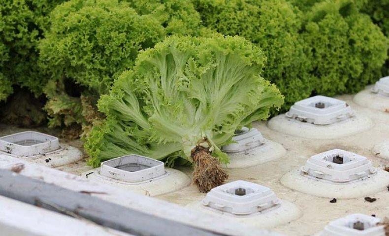 Выращивание салата на гидропонике