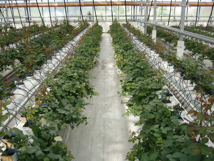 Выращивание роз на гидропонике