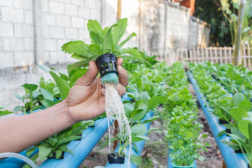 Что можно выращивать на гидропонике?