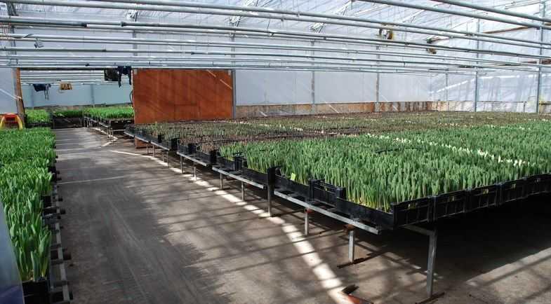 Выращивание тюльпанов на гидропонике