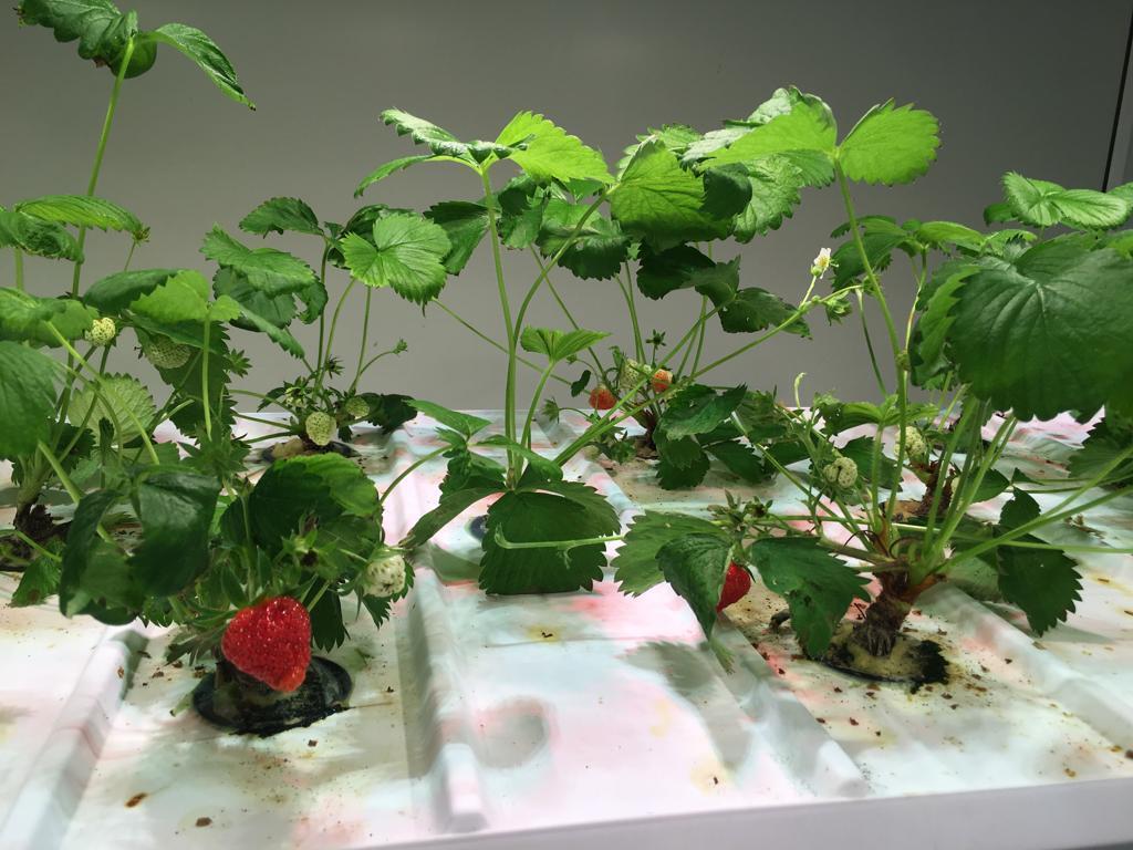 Выращивание земляники на аэропонике