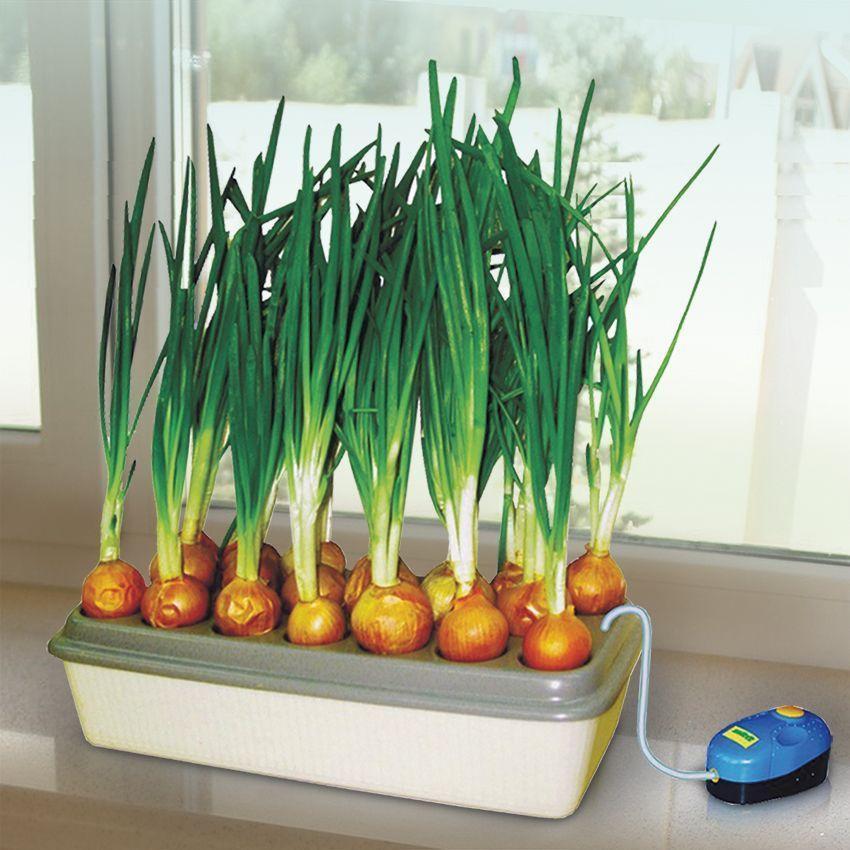 Как вырастить зелёный лук на гидропонике?