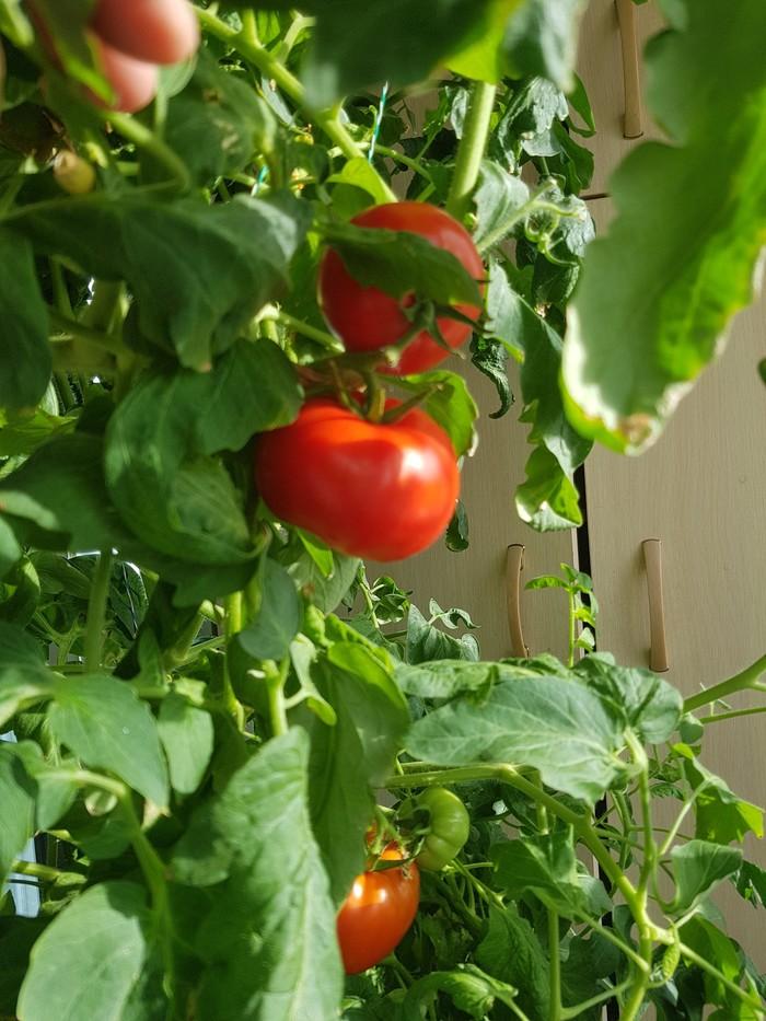 Вертикальные фермы для выращивания помидоров