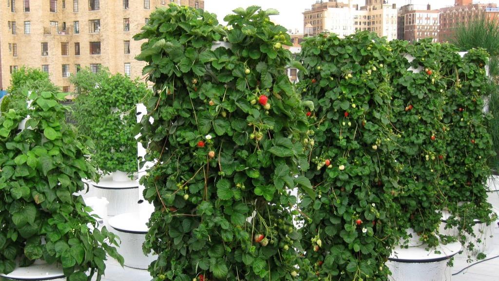 Как вырастить землянику на вертикальной гидропонике?