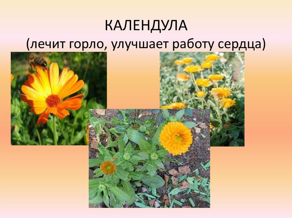 Календула и растения из Красной Книги в Сургуте