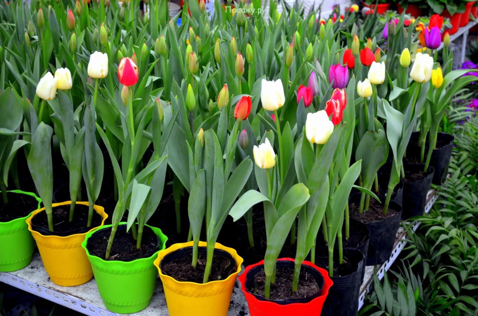 Откуда тюльпаны?