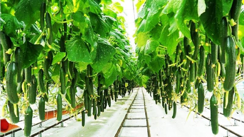 Выращивание огурца способом гидропоники