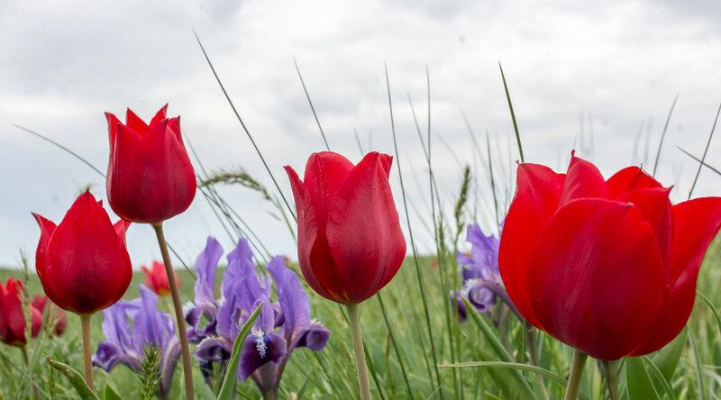 В Сибири его называют королём тюльпанов