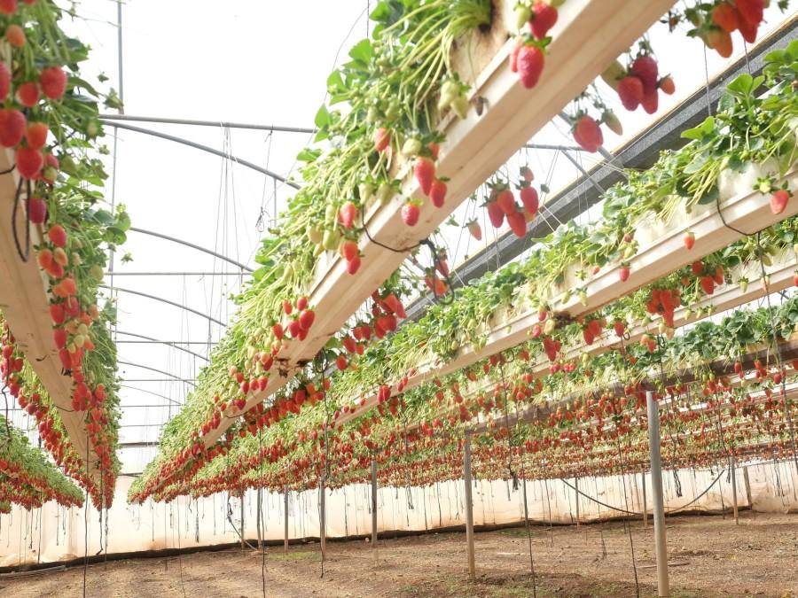 Выращивание клубники на вертикальной ферме Oishii