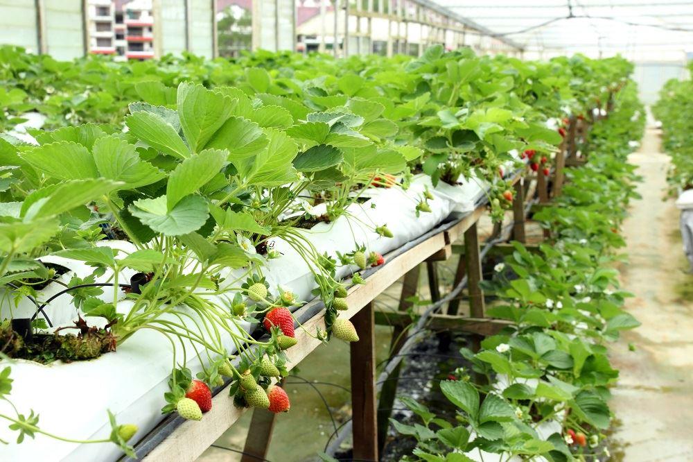 Выращивание клубники в Индии и ОАЭ