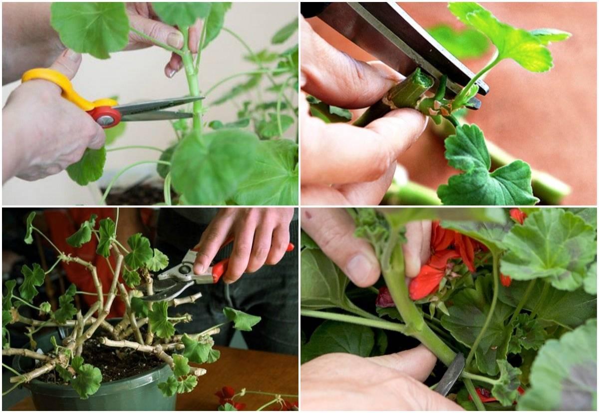Как выращивать герань на вермикулите?