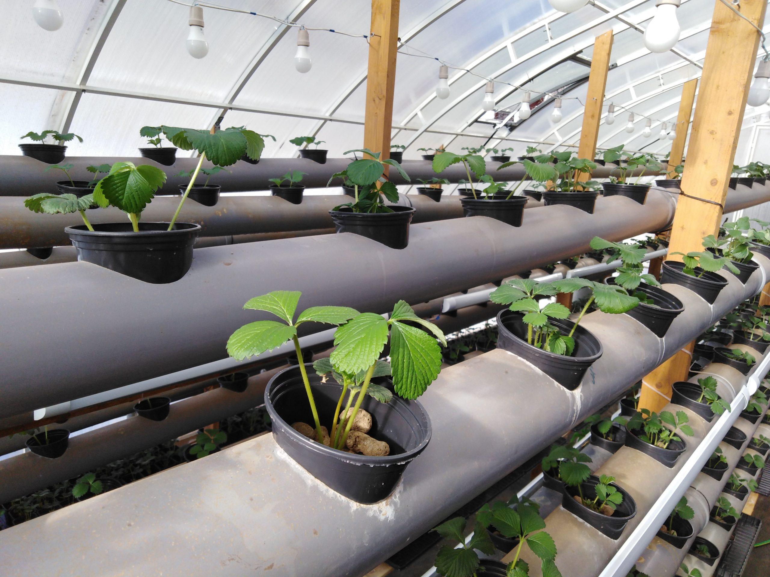 Гидропонная система для выращивания клубники от Ocean Spray