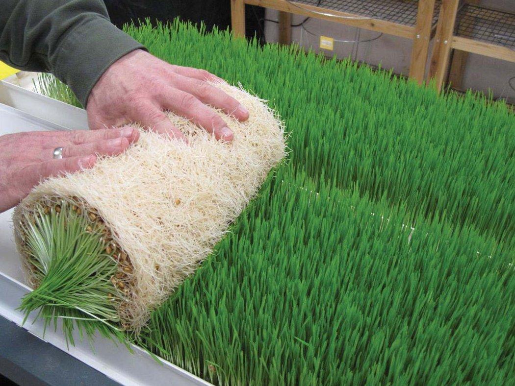 Зелёный корм без земли