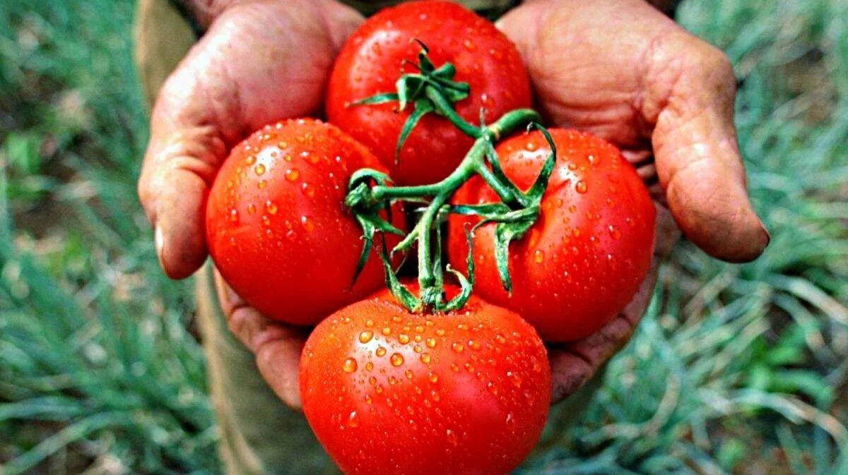 Крымские помидоры 5 поколения