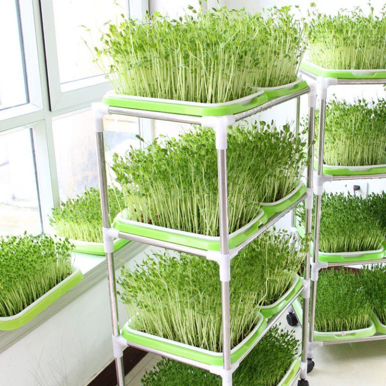 Вырастить микрозелень легко в квартире