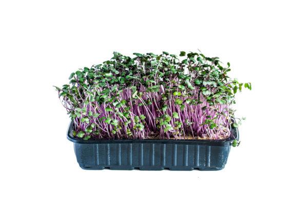 mGreens Набор для выращивания микрозелени кольраби красная. 5 урожаев