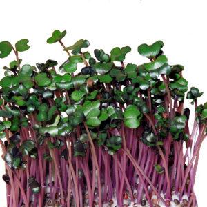 mGreens - набор для выращивания микрозелени капусты краснокочанной