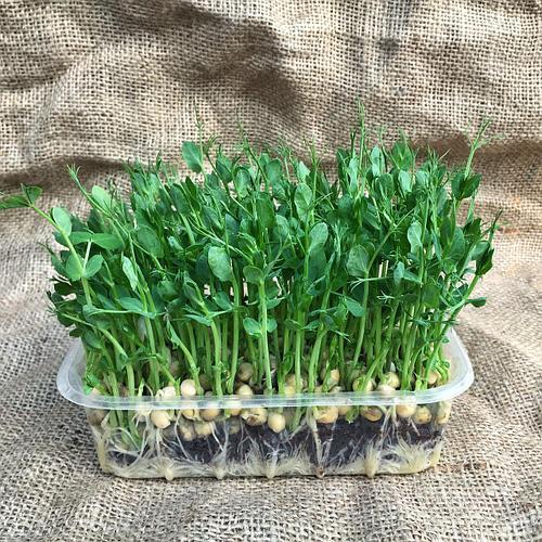 mGreen's Набор для выращивания растений Горох усатый Мадрас
