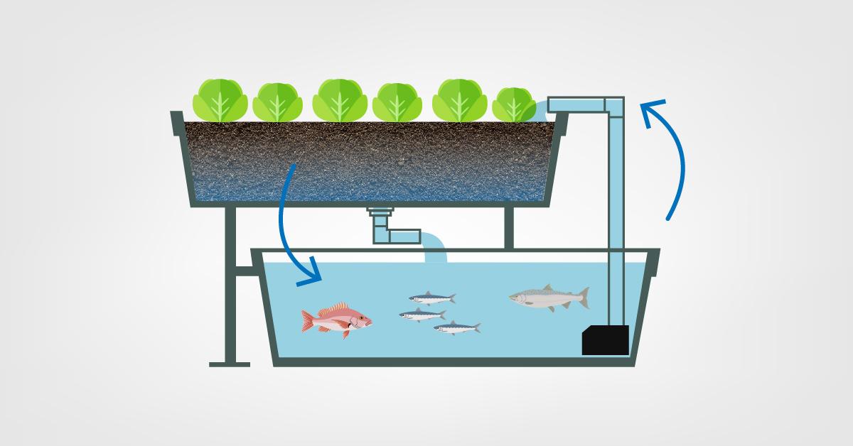 Aквапоника выращивает свежие овощи из рыбных отходов
